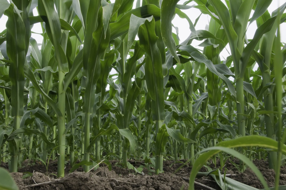 Low-angle view of corn field