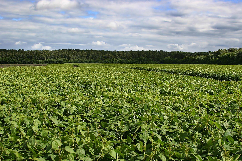 soybean field summer